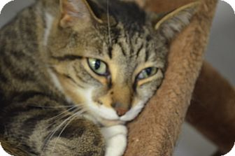 Domestic Shorthair Cat for adoption in Martinsville, Indiana - Jude