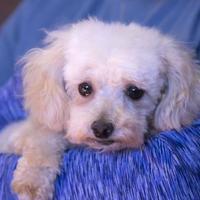 Adopt A Pet :: Sebastian - Colorado Springs, CO
