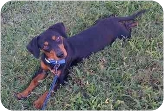 Dachshund Mix Dog for adoption in Homestead, Florida - Maxamillion (MAX)