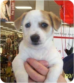 Corgi/Chihuahua Mix Puppy for adoption in White Settlement, Texas - Sleak