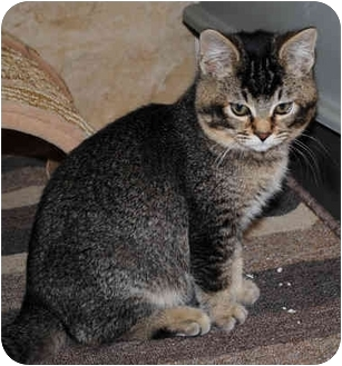 Abyssinian Kitten for adoption in Palmdale, California - Biscuit