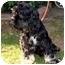 Photo 1 - Cocker Spaniel Dog for adoption in Tacoma, Washington - Loki