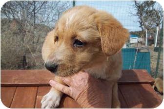 Golden Retriever/Retriever (Unknown Type) Mix Puppy for adoption in Broomfield, Colorado - Aiden