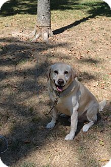 Labrador Retriever Mix Dog for adoption in Lewisville, Indiana - Snicker Doodle