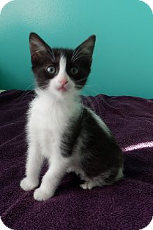 Domestic Mediumhair Kitten for adoption in Naperville, Illinois - Penny