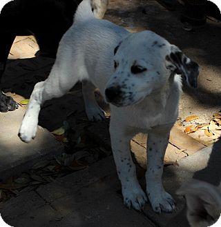 Springer Spaniel Mix Puppy for adoption in Silsbee, Texas - Dottie