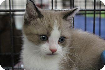 Snowshoe Kitten for adoption in Santa Monica, California - Topsy