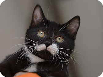 American Shorthair Kitten for adoption in Brooklyn, New York - Pumpkin