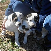 Adopt A Pet :: Beagle Mix Pups - Danbury, CT