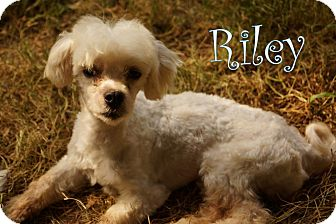 Poodle (Miniature)/Bichon Frise Mix Dog for adoption in New Jersey, New Jersey - NJ - Riley
