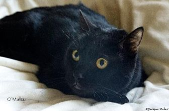 Domestic Shorthair Cat for adoption in St. Louis, Missouri - O'Malley