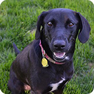 Labrador Retriever/Australian Shepherd Mix Dog for adoption in Minneapolis, Minnesota - Mindy
