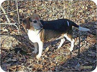 Beagle Dog for adoption in Rutherfordton, North Carolina - Rosie