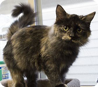 Domestic Mediumhair Kitten for adoption in Fremont, Nebraska - Kalouha