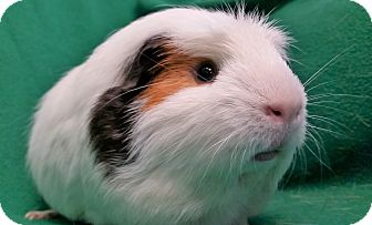 Guinea Pig for adoption in Lewisville, Texas - Alfred