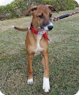 Hound (Unknown Type) Puppy for adoption in Monroe, New Jersey - Gyana