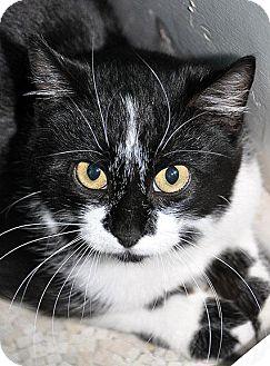 Domestic Shorthair Cat for adoption in Fort Leavenworth, Kansas - Bobbi