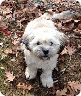 Shih Tzu Mix Dog for adoption in Bloomfield, Connecticut - Puffkins