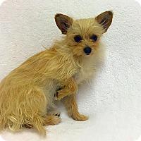 Adopt A Pet :: Iggy - Mission Viejo, CA