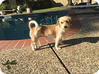 Cairn Terrier Mix Dog for adoption in Tomball, Texas - Lulu
