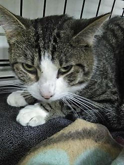 Domestic Shorthair Cat for adoption in Owenboro, Kentucky - SOCKS!