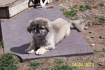 Pekingese Dog for adoption in Broken Bow, Nebraska - Carson