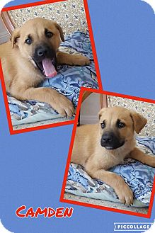 Pit Bull Terrier/Shepherd (Unknown Type) Mix Puppy for adoption in Scottsdale, Arizona - Camden