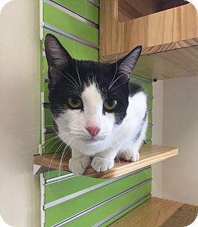 Domestic Shorthair Cat for adoption in Peace Dale, Rhode Island - Crosby
