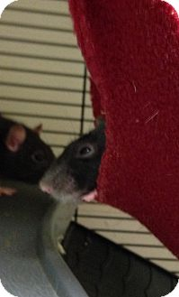 Rat for adoption in Navarre, Florida - Sprinkles