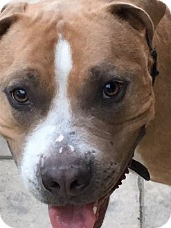 Pit Bull Terrier Mix Dog for adoption in Las Vegas, Nevada - dexter