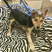 Adopt A Pet :: Chunky Monkey - Phoenix, AZ