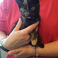 Adopt A Pet :: Torey - Salamanca, NY