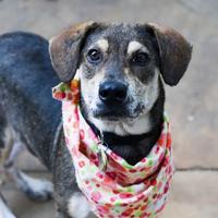 Adopt A Pet :: Lana - Carrollton, TX