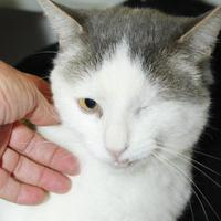 Domestic Shorthair/Domestic Shorthair Mix Cat for adoption in Grass Valley, California - Petals