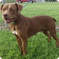American Pit Bull Terrier Mix Dog for adoption in Olive Branch, Mississippi - Gracie