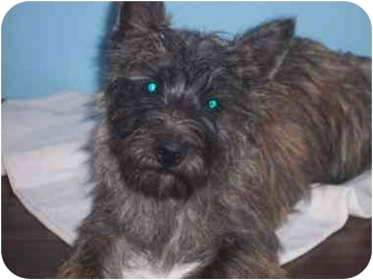 Cairn Terrier/Cairn Terrier Mix Puppy for adoption in Bristow, Oklahoma - Fred