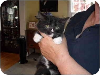 Domestic Mediumhair Kitten for adoption in Riverside, Rhode Island - Alex