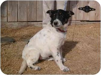 Australian Cattle Dog/Blue Heeler Mix Dog for adoption in Anton, Texas - Heidi