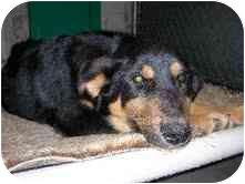 Shepherd (Unknown Type)/German Shepherd Dog Mix Dog for adoption in Broomfield, Colorado - Audra