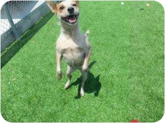 Australian Cattle Dog Mix Dog for adoption in Galveston, Texas - Dasher