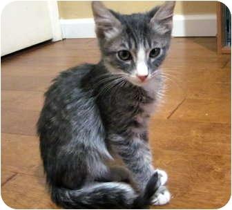 Domestic Mediumhair Kitten for adoption in Davis, California - O'Malley