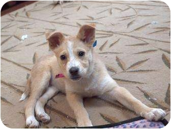 Collie/Great Pyrenees Mix Puppy for adoption in Wayne, New Jersey - Tinkerbell
