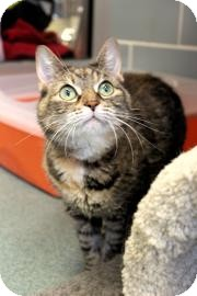Domestic Mediumhair Cat for adoption in Palatine, Illinois - Lucy