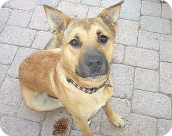 Shepherd (Unknown Type)/Boxer Mix Dog for adoption in Yorba Linda, California - Darcy