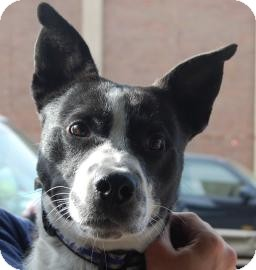 Border Collie Mix Dog for adoption in Brooklyn, New York - Tux