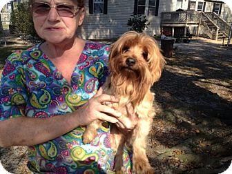 Yorkie, Yorkshire Terrier Dog for adoption in Pt orange, Florida - Inga