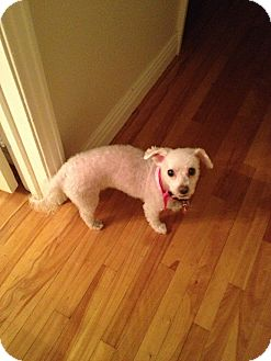 Bichon Frise Dog for adoption in Montreal, Quebec - Daisy