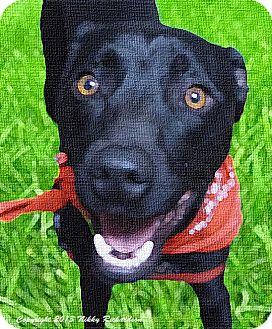 Whippet/Terrier (Unknown Type, Medium) Mix Dog for adoption in Sacramento, California - Koda, fun, loving, trained