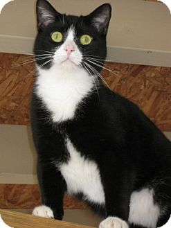Domestic Shorthair Cat for adoption in Bloomsburg, Pennsylvania - Swatch
