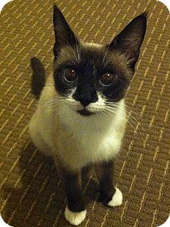 Snowshoe Cat for adoption in Temple, Pennsylvania - ASIA - FIV+
